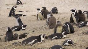 Ομάδα penguins με τους νεοσσούς νεοσσών απόθεμα βίντεο