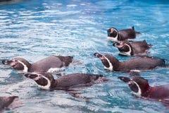 Ομάδα penguins που κολυμπούν από κοινού Στοκ Φωτογραφίες