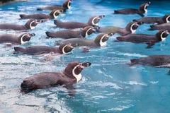 Ομάδα penguins που κολυμπούν από κοινού Στοκ Εικόνες