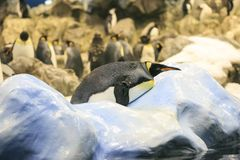 Ομάδα penguins σε έναν ζωολογικό κήπο Στοκ Φωτογραφίες