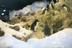 Ομάδα penguins σε έναν ζωολογικό κήπο Στοκ Εικόνες