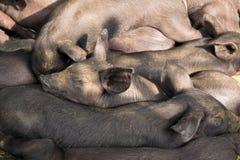 Ομάδας χαριτωμένος ύπνος χοίρων μωρών μαύρος pigpen Στοκ Φωτογραφία
