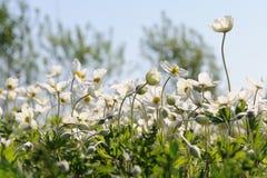 Ομάδα άγριων άσπρων anemones στο λιβάδι ενάντια στο μπλε ουρανό Στοκ Εικόνες