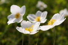 Ομάδα άγριων άσπρων anemones στο λιβάδι Στοκ Εικόνες