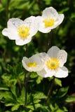 Ομάδα άγριων άσπρων anemones στο λιβάδι Στοκ φωτογραφία με δικαίωμα ελεύθερης χρήσης