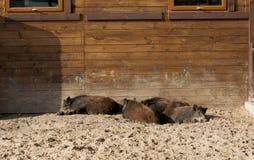 Ομάδα άγριων κάπρων που στηρίζεται στο ζωολογικό κήπο στοκ εικόνες