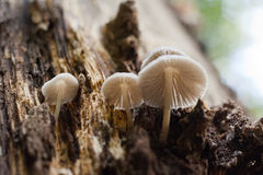 Ομάδα άσπρων μανιταριών που αυξάνεται σε έναν κορμό δέντρων στο δάσος Στοκ φωτογραφία με δικαίωμα ελεύθερης χρήσης