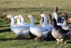 Ομάδα άσπρων εσωτερικών χήνων στο φάρμα πουλερικών Στοκ Εικόνες