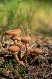 Ομάδα αγαρικού Armillaria μελιού στον ήλιο στο έδαφος Στοκ Εικόνες