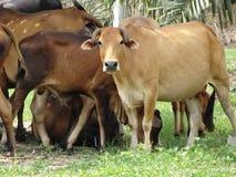 ομάδα αγελάδων στον τομέα Στοκ φωτογραφία με δικαίωμα ελεύθερης χρήσης
