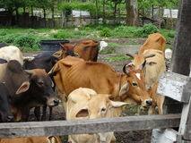 Ομάδα αγελάδων στο αγρόκτημα Στοκ φωτογραφίες με δικαίωμα ελεύθερης χρήσης