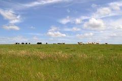 Ομάδα αγελάδων Στοκ Φωτογραφία