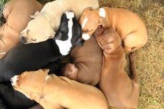 Ομάδα αμερικανικών σκυλιών τεριέ πίτμπουλ Στοκ εικόνα με δικαίωμα ελεύθερης χρήσης