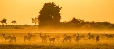 Ομάδα αντιλόπης στο ηλιοβασίλεμα Κινηματογράφηση σε πρώτο πλάνο _ Δέλτα Okavango Στοκ Εικόνες