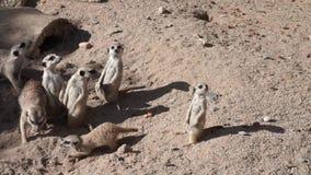 Ομάδα αστείων suricates meerkats απόθεμα βίντεο