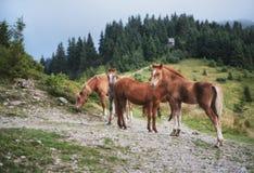 Ομάδα αλόγων στα βουνά Στοκ Εικόνα