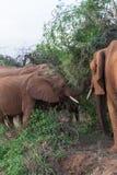Ομάδα ελεφάντων στην ακακία Samburu Στοκ Εικόνες