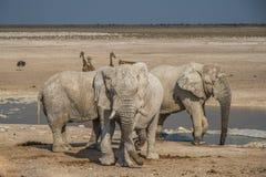 Ομάδα ελεφάντων στο εθνικό πάρκο Ναμίμπια Etoshna Στοκ Εικόνες