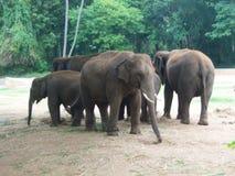 Ομάδα ελεφάντων στο ζωολογικό κήπο του Mysore στοκ φωτογραφίες