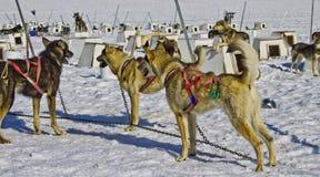 Ομάδα ελκήθρων σκυλιών Στοκ εικόνα με δικαίωμα ελεύθερης χρήσης