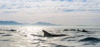 Ομάδα δελφινιών που κολυμπούν στον ωκεανό Στοκ Εικόνες