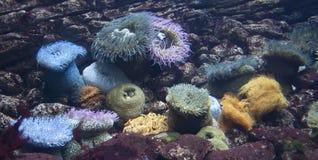 Ομάδα θάλασσας anemones Στοκ φωτογραφία με δικαίωμα ελεύθερης χρήσης