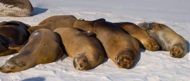 Ομάδα λιονταριών θάλασσας που βρίσκεται στην άμμο galapagos νησιά ωκεάνιος ειρηνικός Ισημερινός στοκ φωτογραφίες