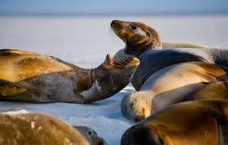 Ομάδα λιονταριών θάλασσας που βρίσκεται στην άμμο galapagos νησιά ωκεάνιος ειρηνικός Ισημερινός στοκ εικόνες με δικαίωμα ελεύθερης χρήσης