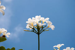 Ομάδα κίτρινων άσπρων λουλουδιών Frangipani, Plumeria, με εθνικό Στοκ φωτογραφία με δικαίωμα ελεύθερης χρήσης
