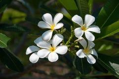 Ομάδα κίτρινων άσπρων λουλουδιών Frangipani, Plumeria, με εθνικό Στοκ Εικόνες