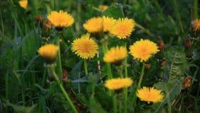 Ομάδα κίτρινων πικραλίδων Σκηνή φύσης φιλμ μικρού μήκους