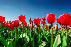 Ομάδα κόκκινων τουλιπών στο πάρκο μπλε σύννεφων πλήρες πράσινο τοπίο εστίασης πεδίων ημέρας οφειλόμενο λίγη μετακίνηση όχι εμφανί Στοκ εικόνα με δικαίωμα ελεύθερης χρήσης