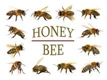 Ομάδα μέλισσας ή μέλισσας στο άσπρο υπόβαθρο, μέλισσες μελιού Στοκ εικόνες με δικαίωμα ελεύθερης χρήσης