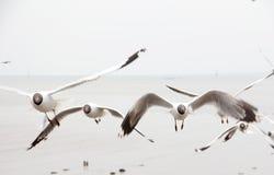Μαύρο επικεφαλής Seagull Στοκ εικόνα με δικαίωμα ελεύθερης χρήσης