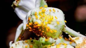 Ομάδα μικροσκοπικών κίτρινων ζωύφιων παρασίτων aphids Στοκ εικόνες με δικαίωμα ελεύθερης χρήσης