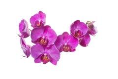 Ομάδα μικρού ροζ phalaenopsis ορχιδεών Στοκ Εικόνα