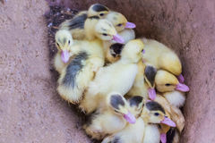Ομάδα μικρών κίτρινων νεοσσών στοκ φωτογραφία