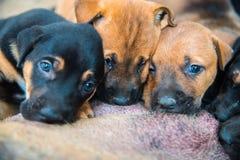 Ομάδα νεογέννητων κουταβιών που απορροφούν το γάλα από τη σκύλα Στοκ Εικόνα