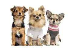 Ομάδα ντυμένου επάνω Chihuahuas, που απομονώνεται Στοκ φωτογραφία με δικαίωμα ελεύθερης χρήσης