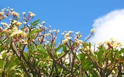 Ομάδα λουλουδιού frangipani (plumeria) που ανθίζει ενάντια στο μπλε Στοκ Εικόνες