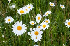 Ομάδα λουλουδιών μαργαριτών στο λιβάδι Στοκ εικόνες με δικαίωμα ελεύθερης χρήσης