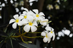 Ομάδα λουλουδιών plumeria Στοκ Φωτογραφίες