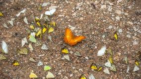 Ομάδα πεταλούδων που μαλάσσουν στο έδαφος και που πετούν στη φύση, Ταϊλάνδη Στοκ Εικόνες