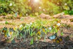 Ομάδα πεταλούδων που πετούν στη φύση Στοκ Εικόνες