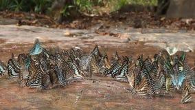 Ομάδα πεταλούδων στη φύση, πυροβολισμός ολισθαινόντων ρυθμιστών φιλμ μικρού μήκους