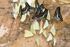 Ομάδα πεταλούδων σχετικά με την επίγεια όμορφη πεταλούδα, ζωηρόχρωμη πεταλούδα, πεταλούδα στον κήπο υπαίθριο Στοκ φωτογραφία με δικαίωμα ελεύθερης χρήσης