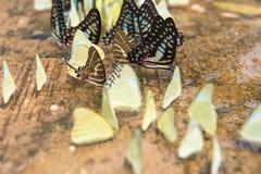 Ομάδα πεταλούδων σχετικά με την επίγεια όμορφη πεταλούδα, ζωηρόχρωμη πεταλούδα, πεταλούδα στον κήπο υπαίθριο Στοκ Φωτογραφίες