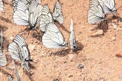Ομάδα πεταλούδων. Στοκ Φωτογραφίες