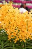 Ομάδα πορτοκαλιών λουλουδιών ορχιδεών Στοκ Εικόνες