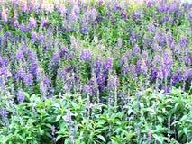 ομάδα πορφυρού λουλουδιού Angelonia Στοκ εικόνες με δικαίωμα ελεύθερης χρήσης